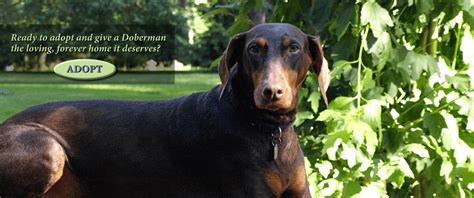 backyard breeder vs reputable breeder doberman puppies for adoption australian cattle dog
