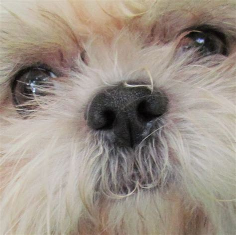 shih tzu problems shih tzu eye problems what you should