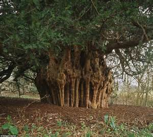 Low Country Houses save our trees specimens such as robin hood s oak should