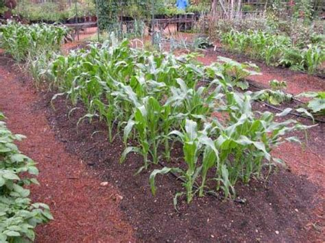 Vegetable Garden Gardening For Beauty And Relaxation Raised Rows Vegetable Garden