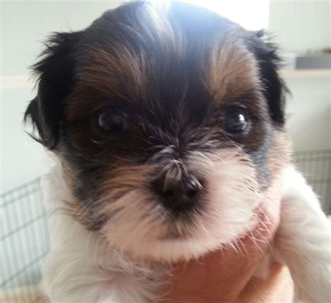 shih tzu for sale in essex shih tzu pupppies for sale grays essex pets4homes