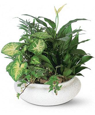 buy house plants online cheap flowerwyz plant delivery indoor plants potted plants indoor house plants for