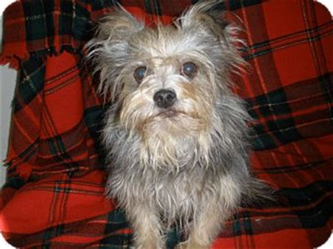 yorkie border terrier mix elton adopted brooksville fl yorkie terrier border terrier mix