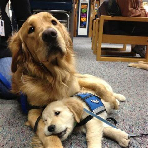 golden retriever wheelchair 17 best images about animals heroes 2 on ptsd therapy dogs