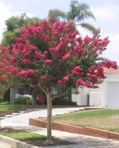 17 best ideas about lagerstroemia on crepe