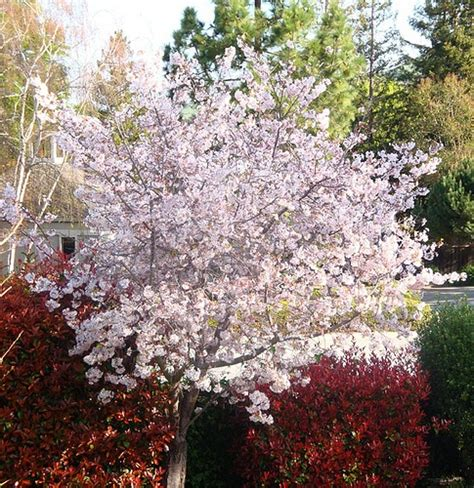 8 cherry trees lower stondon 9 best flowering cherry images on flowering trees blossom trees and cherries