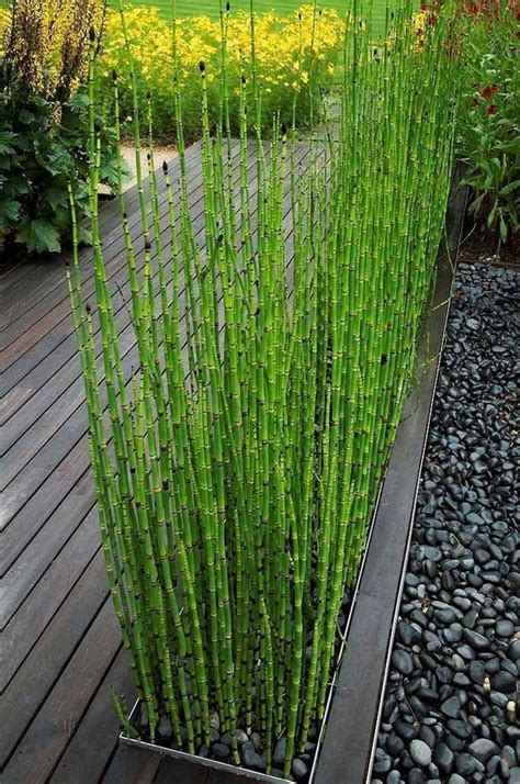 3 x horsetail reed pond plants bamboo looking 2 ft tall