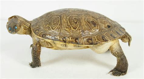 Turtle Decorations For Home Vintage Real Size Taxidermy Turtle Rustic Cabin Home Decor Ebay