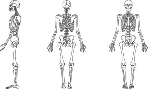 colocar cadenas gorila sistema esquel 233 tico ossos do corpo humano planeta biologia