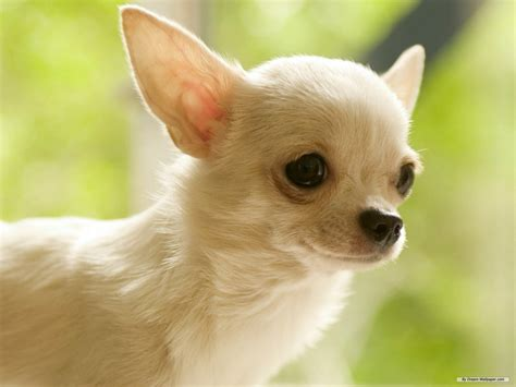 chi puppy gorgeous chihuahua chihuahuas wallpaper 16750789 fanpop