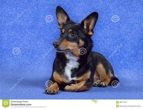 small with big ears small with big ears stock photography image 38731442