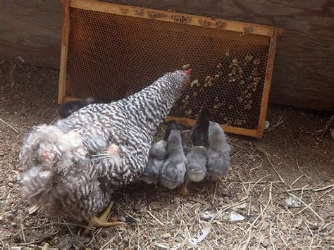 chickens and bees together keeping backyard bees