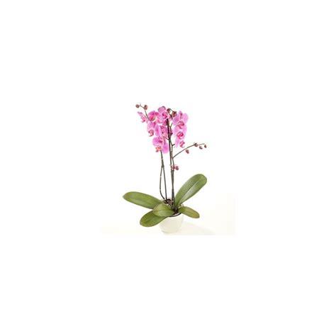 vaso orchidea orchidee phalaenopsis