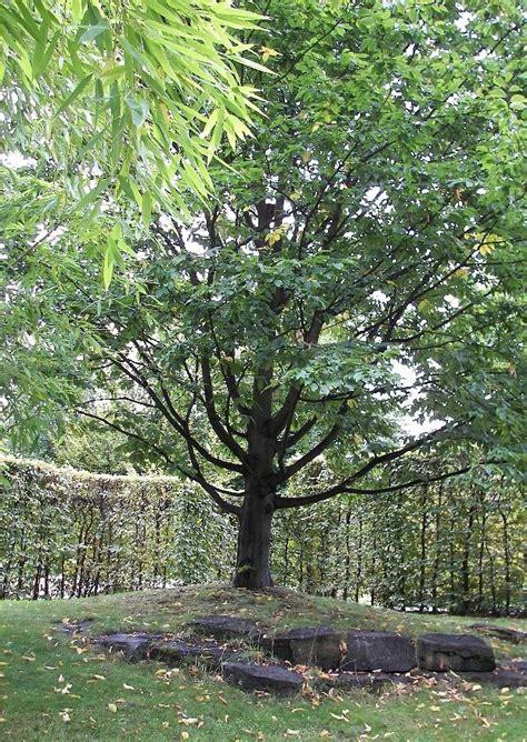 Britzer Garten Gartenplan by Carpinus Betulus Exponierte Hainbuche Wei 223 Buche Durch