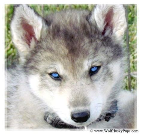 wolf husky puppies siberian husky timber wolf cross puppy in utah our favorite pics