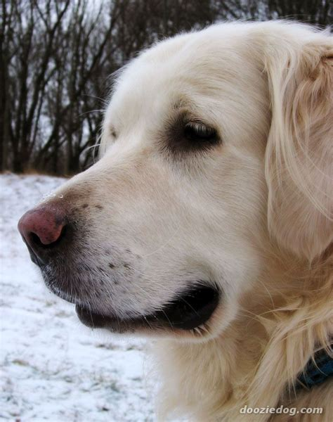 breed similar to golden retriever golden retriever breed breed information pictures