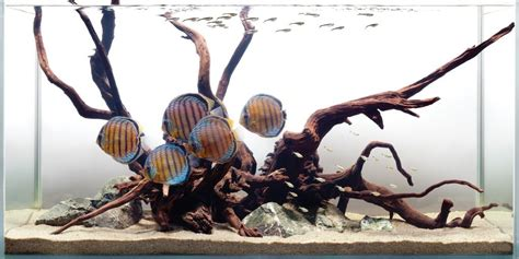 wild discus white background  substrate aquarium