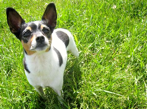 rat terrier puppy rat terrier breed information pictures characteristics facts dogtime