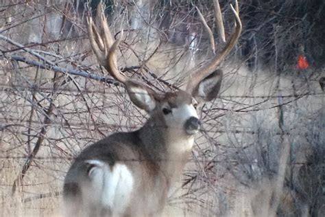 bucks idaho falls idaho town outraged killing of popular mule deer la