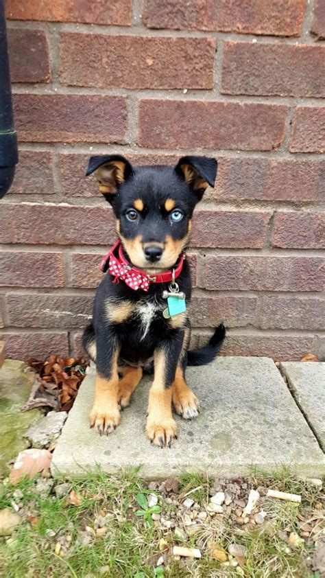 husky mix with rottweiler rottweiler x husky mix puppy brown blue eye cheltenham gloucestershire pets4homes