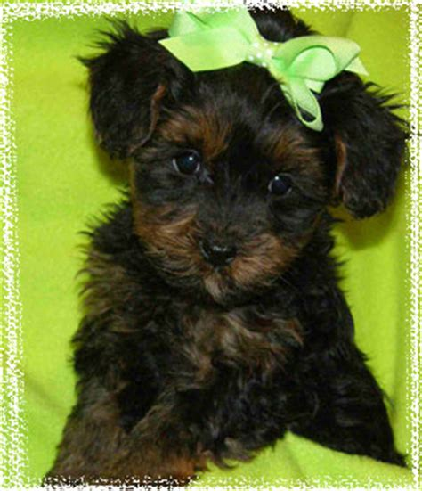 images of yorkie poo puppies yorkie poo puppies images my cousin s new yorkiepoo wallpaper and background