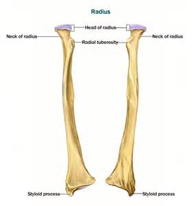 Radius Skeletal System Appendicular Skeletal System