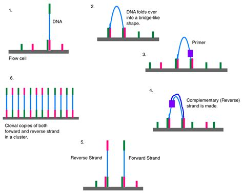 illumina genome sequencing illumina dye sequencing