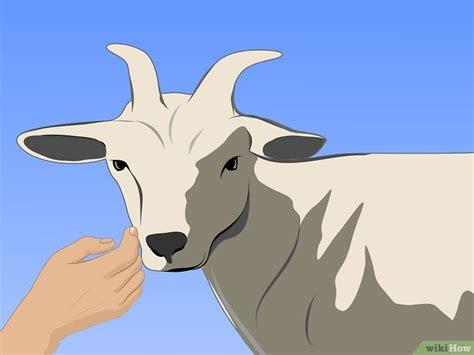 Anakan Kambing Potong 3 cara untuk beternak kambing wikihow