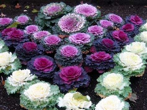 decorative cabbage kale plants not all cabbage or kale is for eating giordanos
