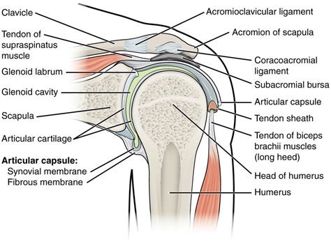 shoulder diagram diagram of shoulder anatomy human anatomy diagram