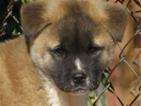 akita puppies for sale in nc akita puppies in oklahoma