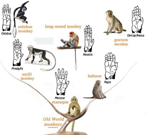 primatology palm reading the primate hands family tree