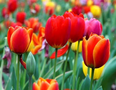 fiori tulipani tulipano tulipa tulipa bulbi tulipano tulipa bulbi