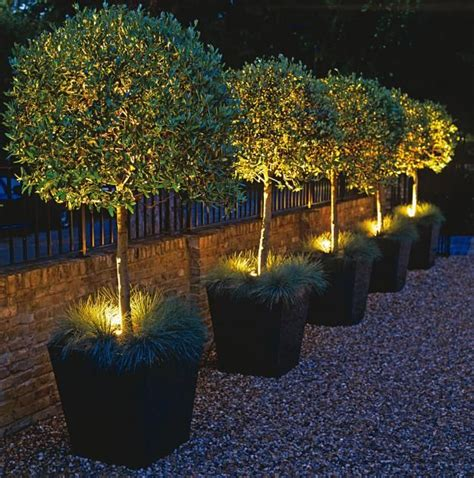 Landscape Lighting Ideas Trees Halogen Spots Highlight Potted Olive Trees Flowers