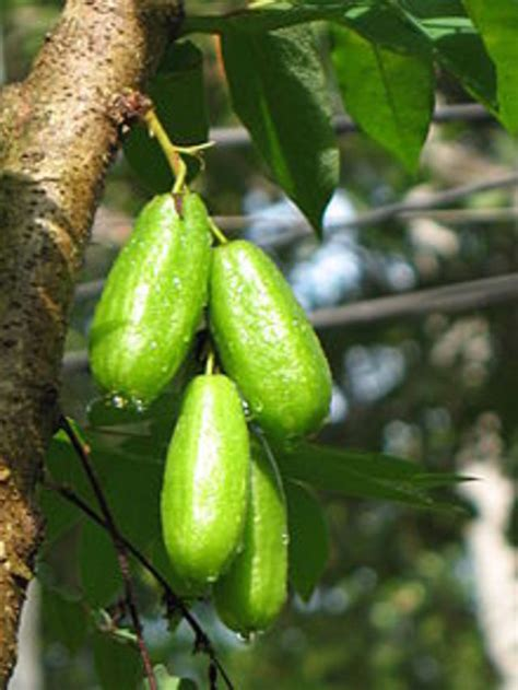 guyana fruit trees guyana fruits