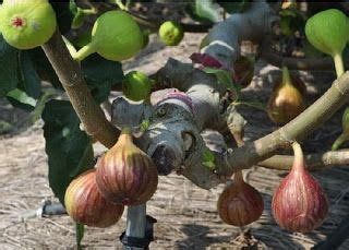 Bibit Buah Tin Panache 267 best images about fig trees on gardens trees and greenhouses