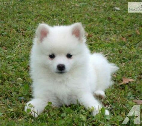 eskimo spitz puppy eskimo spitz lookup beforebuying