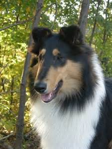 tri color collie tri colored collie lassie come home