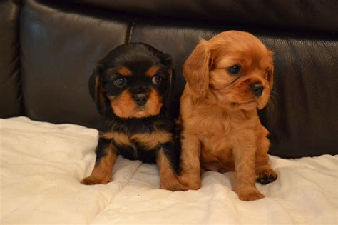 king charles cavalier puppies cavalier king charles solid ruby puppy for sale stockton on tees county durham