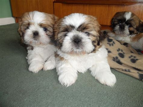 shih tzu puppys for sale 4 adorable shih tzu puppies for sale knebworth hertfordshire pets4homes