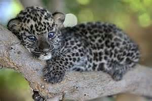 Jaguar Baby Blue You Won T Want These Baby Leopards To Change Their Spots