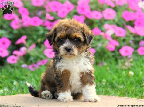 best havanese breeders in nj a ranian puppies for sale breeds picture