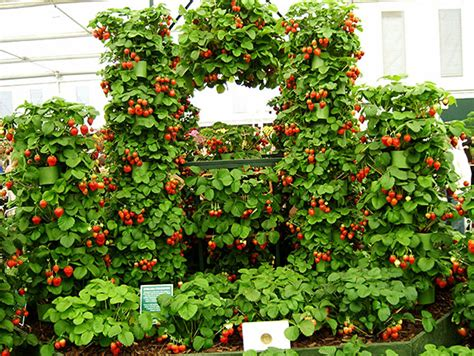 como plantar morango hortas info