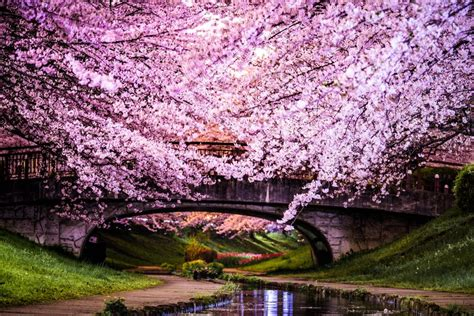 cherry blossom trees cherry blossom trees in japan most interesting trees in the world popsugar smart living photo 2