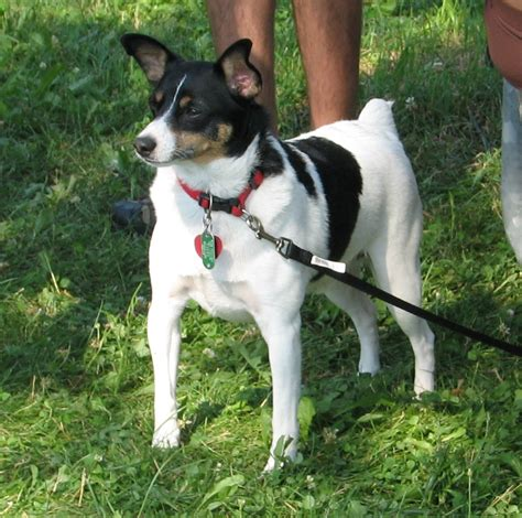 fox terrier fox terrier about fox terriers breeds picture