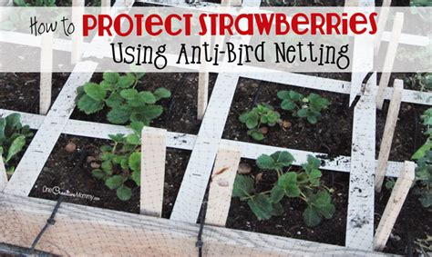 Protect Strawberryts With Anti Bird Netting