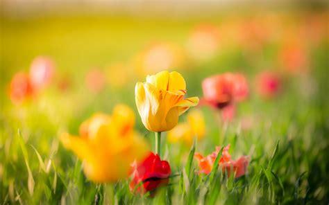 imagenes de rosas full hd fondo de pantalla tulipanes flores amarillas y rojas hd