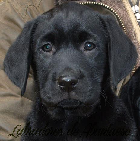 imagenes labrador negro imagenes de perros labradores cachorros negros imagui