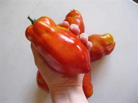tomato jersey giant seeds garden hoard certified