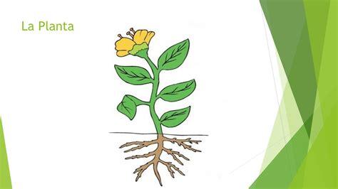 olguchiland las plantas ii partes externas de las plantas y sus funciones ppt descargar